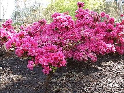 Muskogee Festival Blooming With Azaleas