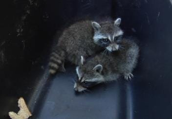 Raccoons Rescued From Inside Pepsi Machine