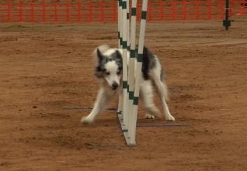 Tulsa Dog Training Club Holds Agility Trials