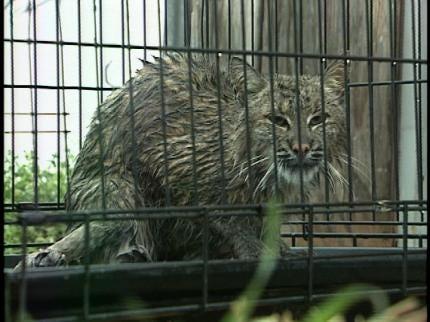 Pet Owners Warned Of Bobcat Fever