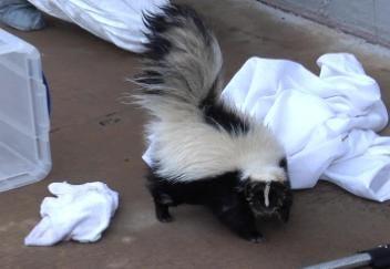 Skunk Found With Head Stuck In Peanut Butter Jar