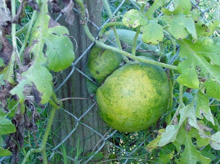 Fenced-In Watermelon In Tulsa
