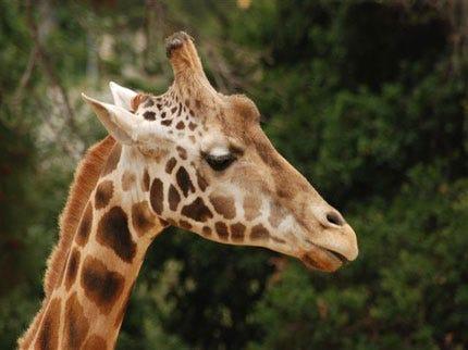 Tulsa Zoo Faces Fine, Violations Over Death Of Giraffe