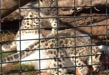 Snow Leopard Cubs Make Debut At Tulsa Zoo