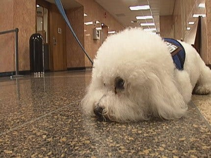Tulsa D.A. Therapy Dog Offering Courtroom Comfort To Victims