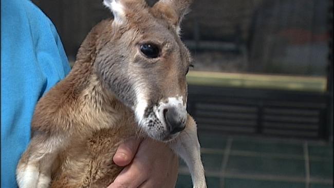 Broken Arrow City Council Considers New Ordinance Regarding Injured Kangaroo