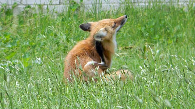Red Fox Takes Daytime Romp Through Midtown Tulsa