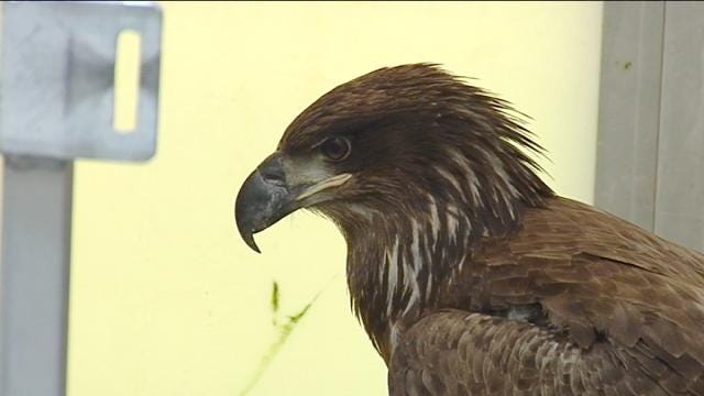 Oklahoma Eagles Poisoned by Lead Shot