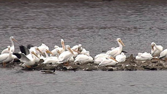 White Pelicans Spotted On The Arkansas River In Tulsa