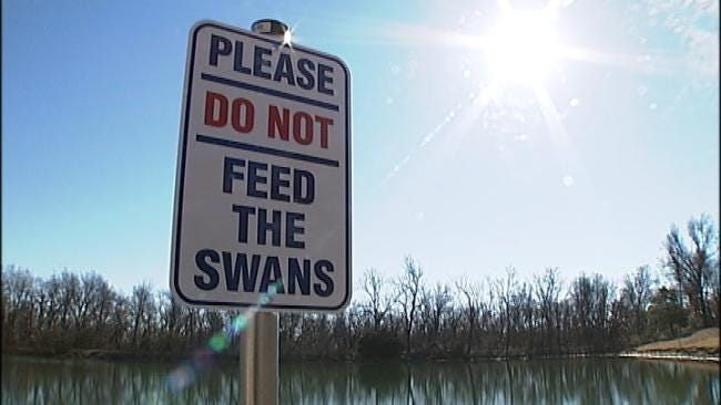 New Swans A-Swimming At Rogers State College In Claremore