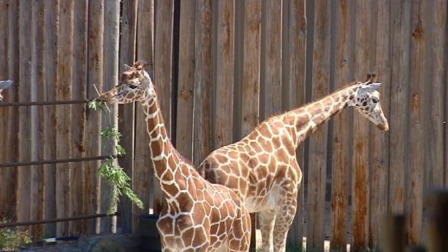 Get The 'Giraffe Experience' At Tulsa Zoo