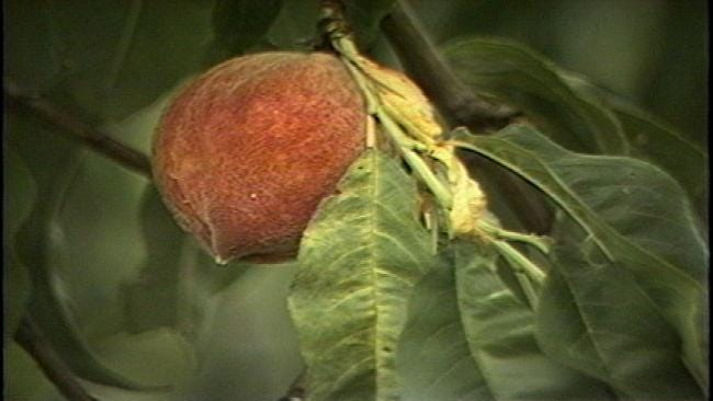 From The KOTV Vault: Crops Of Peaches, Crops Of News Stories