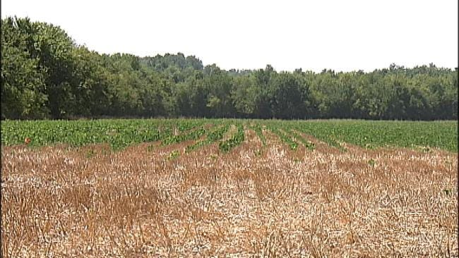Oklahoma Soybean Crops Hurt By Drought
