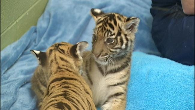 Tulsa Tiger Cub Berani Meets New Family In Washington