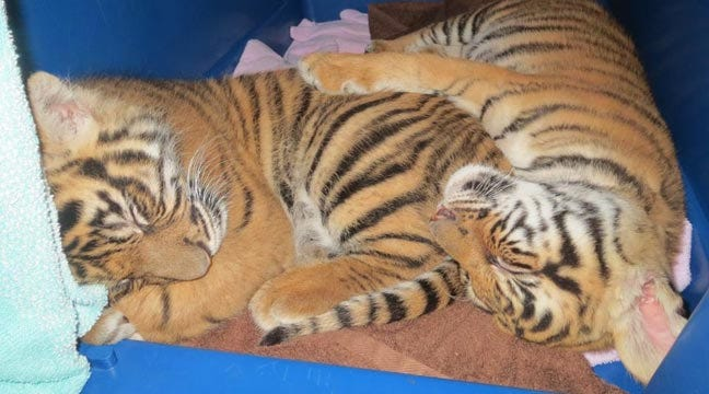 Tulsa Zoo Vet Gives Update On Orphaned Tiger Cub Berani