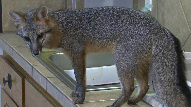Family's Pet Fox Injures Sequoyah County Deputy