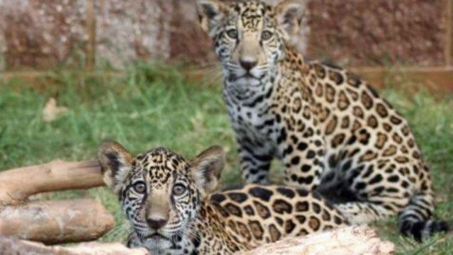 Tulsa Zoo's Jaguar Cubs Now Have Names