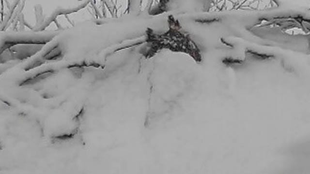 Watch Live: Great Horned Owl Deals With Snow, Hail On Oklahoma Nest