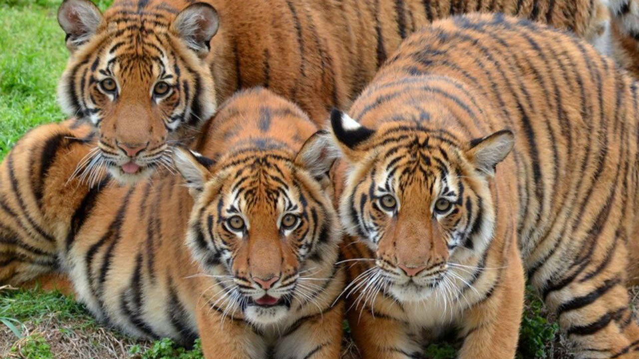 Tulsa Zoo To Celebrate Birthday For Endangered Tiger Cubs
