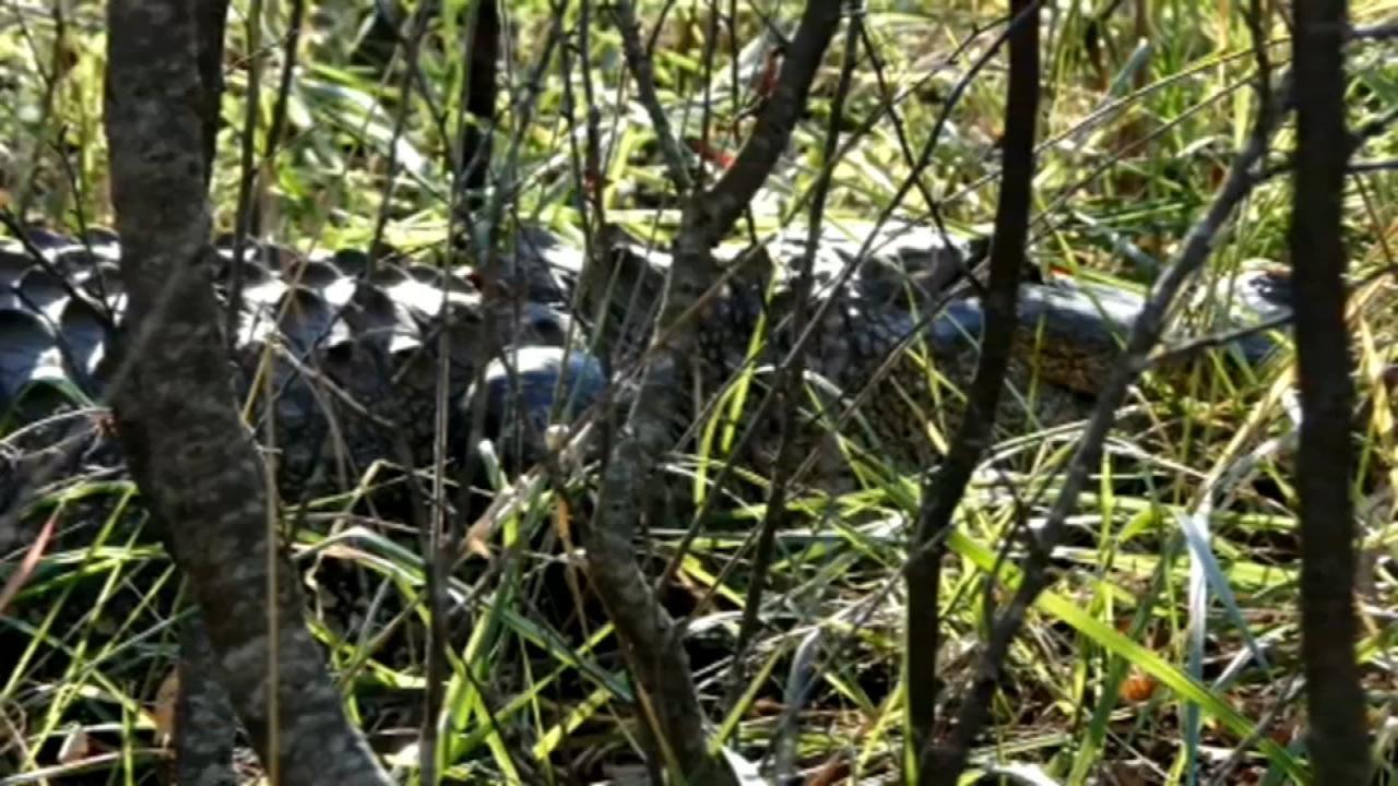 Alligator Sightings On Lake Texoma