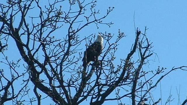 Salina Man Captures Dramatic Images Of Bald Eagle