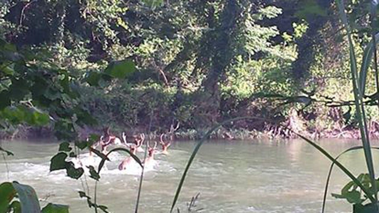 Photos Of Elk Crossing River Near Tahlequah A Hit On Social Media