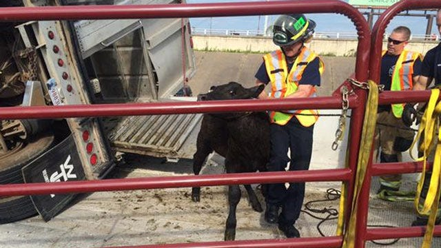 Cattle Truck Overturns On Downtown Tulsa Highway