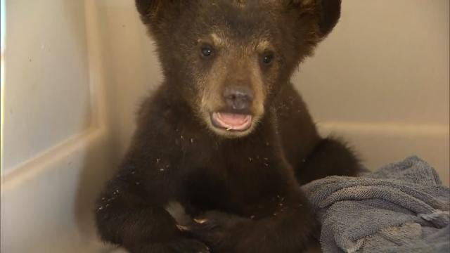 Oklahoma Bear Cub Has New Home In Texas