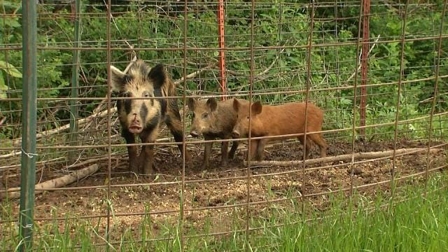 Running Wild: Feral Hog Problem Growing In Oklahoma