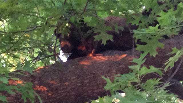 Young Black Bear Eludes Captors In Muskogee