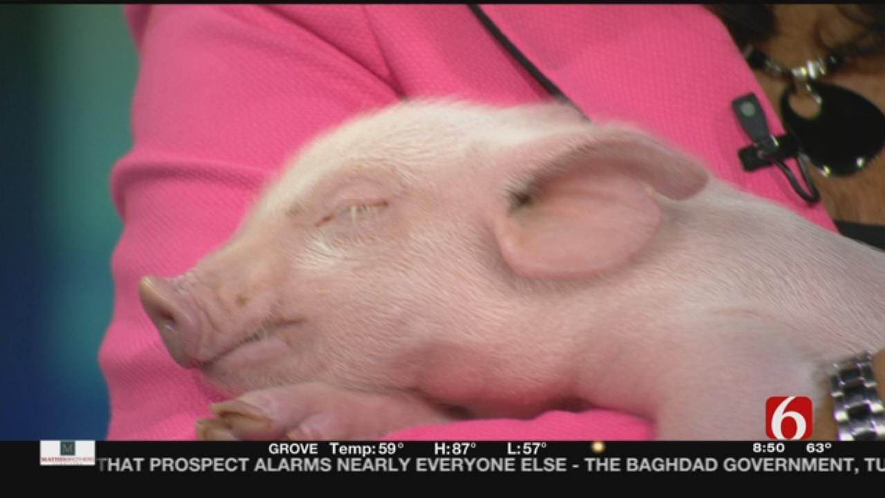 Pig Helps Oklahoma Veterinarian/Author Talk About Animal Care