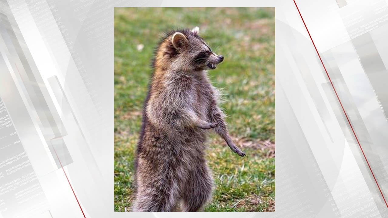 """Zombie-Like"" Raccoons In Ohio, Authorities Trying To Determine The Cause"