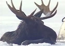 Moose rescued from frozen lake