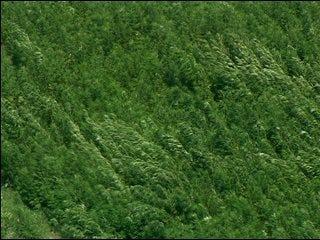 Marijuana field discovered in McClain Co.