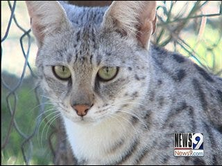 Exotic cats bred as pets