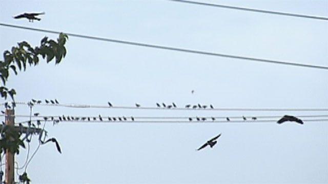 Thousands Of Birds Take Over Edmond Parking Lot