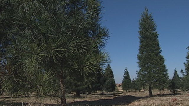 Wet Weather Has OK Christmas Tree Farms Booming