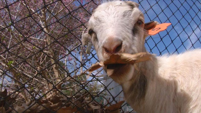 Stillwater Using Goats To Clean City Streets