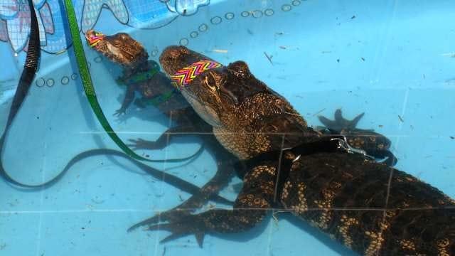 Broken Arrow Safari Sanctuary Charging For Pool Parties With Alligators