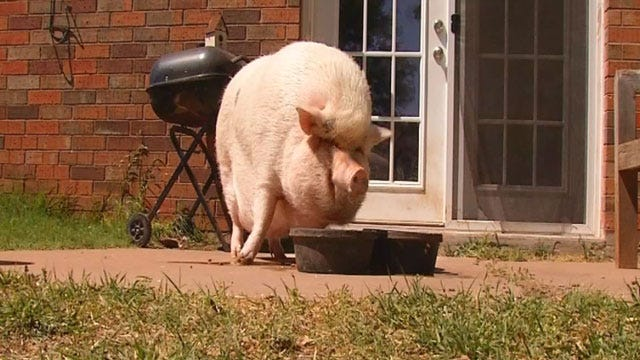 OKC Woman Fighting To Keep 'Emotional Support' Pig Gets Big Donation