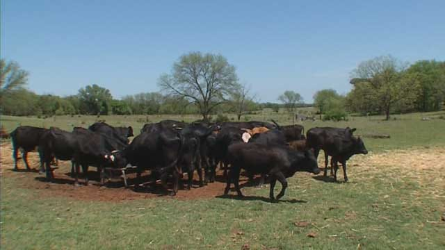 $30K Worth Of Cattle Rustled From Logan County Ranch