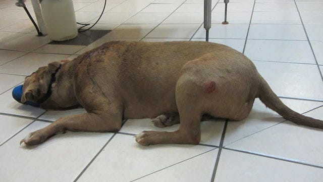 Dog Stabbed, Brutally Beaten With Hammer In McIntosh County