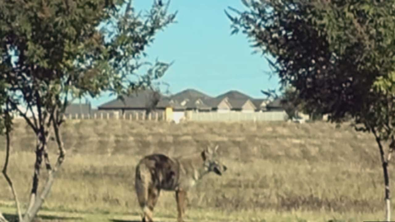 Metro Residents Concerned About Neighborhood Coyote Sightings