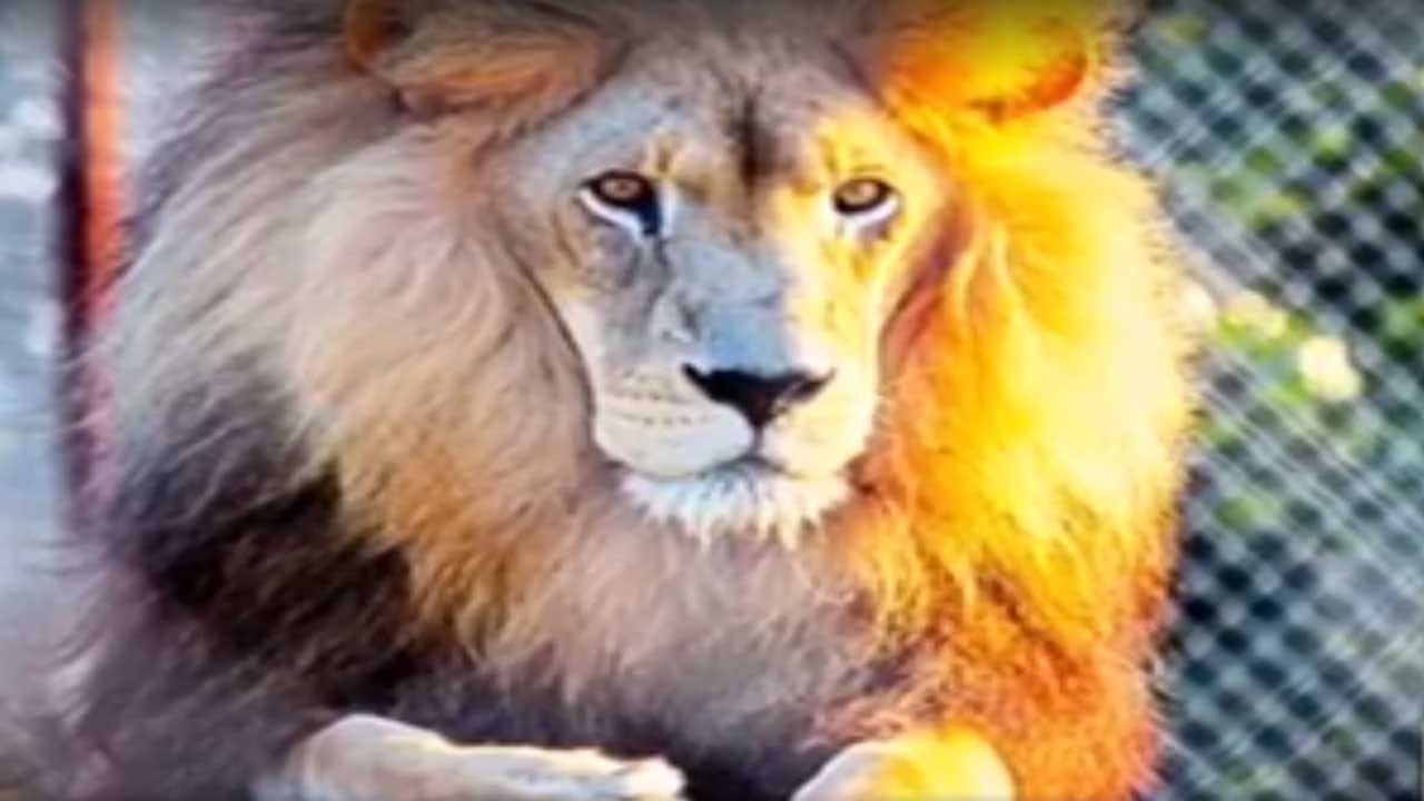 Death Of Lion At Tiger Safari In Tuttle Has Critics Calling For Action