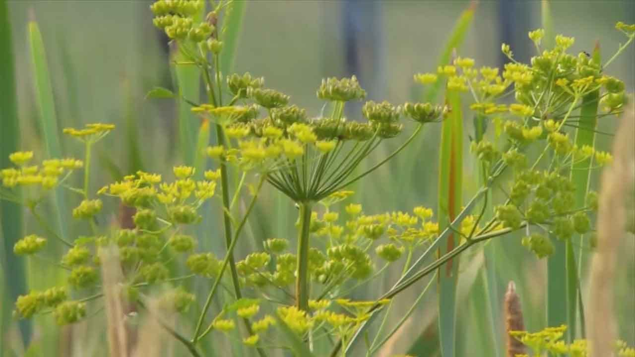 Health Experts Warn Of Poisonous Weed Flourishing Across The US