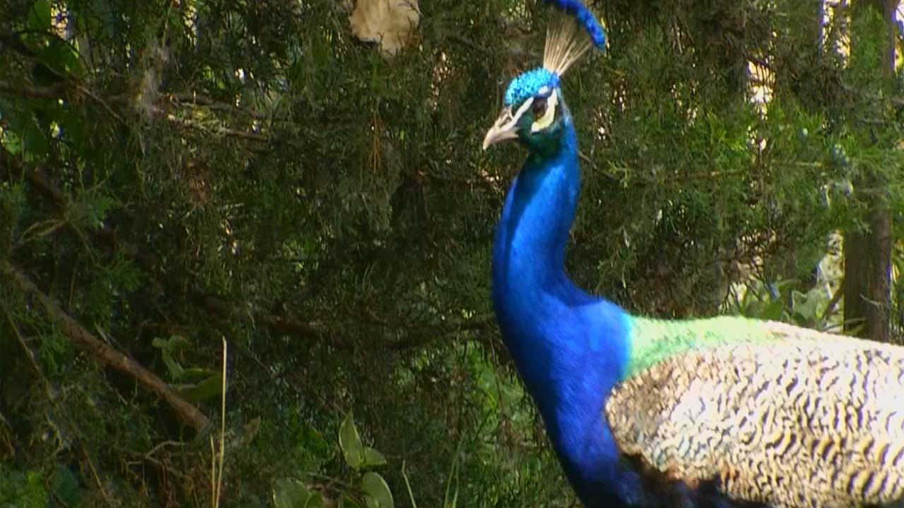Peacocks Causing Troubles For An Edmond Woman