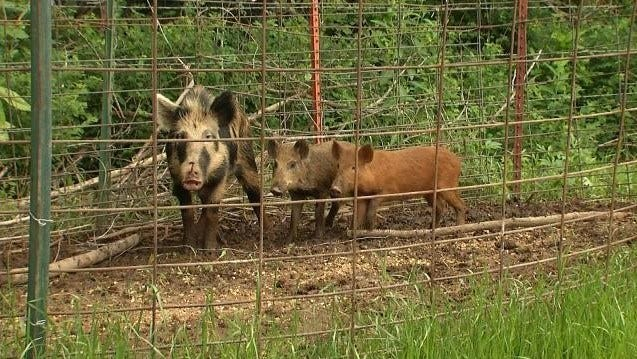 USDA No Longer Hunting, Trapping Feral Hogs In Oklahoma County