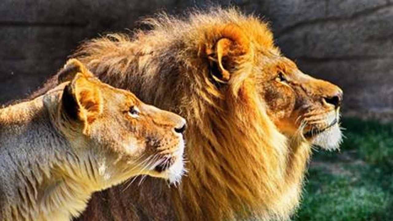 Lion Kills Worker After Escaping Enclosure At North Carolina Animal Center