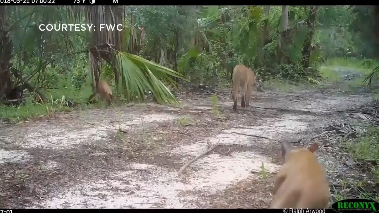 Endangered Florida Panthers Mysteriously Struggling To Walk