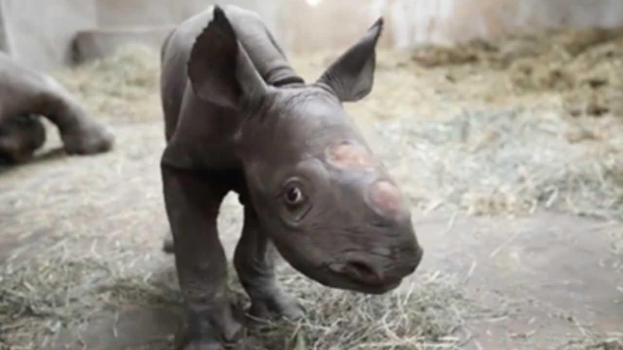 Rare Black Rhino Born At Michigan Zoo On Christmas Eve